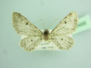 (Eupithecia mystiata wehrlii - BC ZSM Lep 103488)  @11 [ ] by-nc-sa (2018) SNSB, Staatliche Naturwissenschaftliche Sammlungen Bayerns ZSM (SNSB, Zoologische Staatssammlung Muenchen)