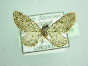 (Eupithecia cooptata - BC ZSM Lep 103489)  @11 [ ] by-nc-sa (2018) SNSB, Staatliche Naturwissenschaftliche Sammlungen Bayerns ZSM (SNSB, Zoologische Staatssammlung Muenchen)