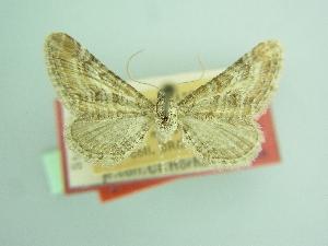 (Eupithecia sutiliata obtinens - BC ZSM Lep 103491)  @11 [ ] by-nc-sa (2018) SNSB, Staatliche Naturwissenschaftliche Sammlungen Bayerns ZSM (SNSB, Zoologische Staatssammlung Muenchen)