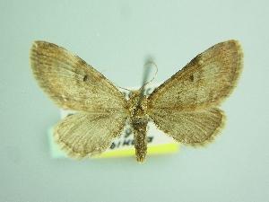 (Eupithecia moecha - BC ZSM Lep 103492)  @11 [ ] by-nc-sa (2018) SNSB, Staatliche Naturwissenschaftliche Sammlungen Bayerns ZSM (SNSB, Zoologische Staatssammlung Muenchen)