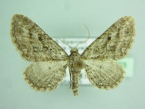 ( - BC ZSM Lep 103493)  @11 [ ] by-nc-sa (2018) SNSB, Staatliche Naturwissenschaftliche Sammlungen Bayerns ZSM (SNSB, Zoologische Staatssammlung Muenchen)