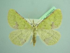 (Enanthyperythra - BC ZSM Lep 103503)  @11 [ ] by-nc-sa (2018) SNSB, Staatliche Naturwissenschaftliche Sammlungen Bayerns ZSM (SNSB, Zoologische Staatssammlung Muenchen)