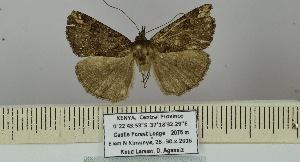 (Hypena phricocyma - BC ZSM Lep 106387)  @11 [ ] by-nc-sa (2019) SNSB, Staatliche Naturwissenschaftliche Sammlungen Bayerns ZSM (SNSB, Zoologische Staatssammlung Muenchen)
