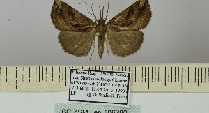 (Hypena viridifascia - BC ZSM Lep 106390)  @11 [ ] by-nc-sa (2019) SNSB, Staatliche Naturwissenschaftliche Sammlungen Bayerns ZSM (SNSB, Zoologische Staatssammlung Muenchen)