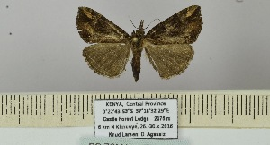 (Hypena arenbergeri - BC ZSM Lep 106397)  @11 [ ] by-nc-sa (2019) SNSB, Staatliche Naturwissenschaftliche Sammlungen Bayerns ZSM (SNSB, Zoologische Staatssammlung Muenchen)