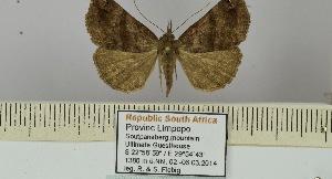 (Hypena semlikiensis - BC ZSM Lep 106427)  @11 [ ] by-nc-sa (2019) SNSB, Staatliche Naturwissenschaftliche Sammlungen Bayerns ZSM (SNSB, Zoologische Staatssammlung Muenchen)