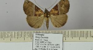 (Hypena cowani - BC ZSM Lep 106434)  @11 [ ] by-nc-sa (2019) SNSB, Staatliche Naturwissenschaftliche Sammlungen Bayerns ZSM (SNSB, Zoologische Staatssammlung Muenchen)