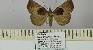 (Hypena fusculalis - BC ZSM Lep 106443)  @11 [ ] by-nc-sa (2019) SNSB, Staatliche Naturwissenschaftliche Sammlungen Bayerns ZSM (SNSB, Zoologische Staatssammlung Muenchen)