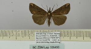 (Hypena polycyma - BC ZSM Lep 106450)  @11 [ ] by-nc-sa (2019) SNSB, Staatliche Naturwissenschaftliche Sammlungen Bayerns ZSM (SNSB, Zoologische Staatssammlung Muenchen)