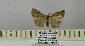 (Hypena albirhomboidea - BC ZSM Lep 106452)  @11 [ ] by-nc-sa (2019) SNSB, Staatliche Naturwissenschaftliche Sammlungen Bayerns ZSM (SNSB, Zoologische Staatssammlung Muenchen)