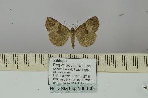 (Hypena antimima - BC ZSM Lep 106486)  @11 [ ] by-nc-sa (2019) SNSB, Staatliche Naturwissenschaftliche Sammlungen Bayerns ZSM (SNSB, Zoologische Staatssammlung Muenchen)