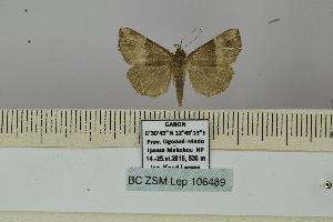 (Hypena erastrialis - BC ZSM Lep 106489)  @11 [ ] by-nc-sa (2019) SNSB, Staatliche Naturwissenschaftliche Sammlungen Bayerns ZSM (SNSB, Zoologische Staatssammlung Muenchen)