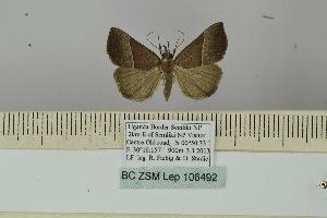 (Hypena laetalis - BC ZSM Lep 106492)  @11 [ ] by-nc-sa (2019) SNSB, Staatliche Naturwissenschaftliche Sammlungen Bayerns ZSM (SNSB, Zoologische Staatssammlung Muenchen)