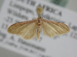 (Idaea umbricosta - BC ZSM Lep 105823)  @11 [ ] by-nc-sa (2019) SNSB, Staatliche Naturwissenschaftliche Sammlungen Bayerns ZSM (SNSB, Zoologische Staatssammlung Muenchen)