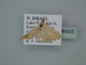 ( - BC ZSM Lep 106665)  @11 [ ] by-nc-sa (2019) SNSB, Staatliche Naturwissenschaftliche Sammlungen Bayerns ZSM (SNSB, Zoologische Staatssammlung Muenchen)