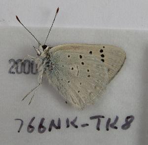 (Lycaena rubidus ferrisi - 766NK-TK8)  @13 [ ] Unspecified (default): All Rights Reserved  Unspecified Unspecified