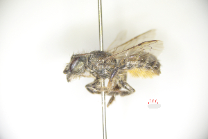 (Osmia excavata - CP16081)  @11 [ ] by-nc (2019) Unspecified China Agricultural University