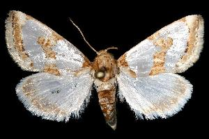 (Schinia chrysellus - 144378)  @14 [ ] No Rights Reserved  Unspecified Unspecified
