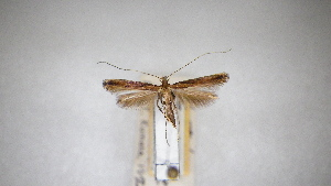 (Caloptilia schisandrae - RNH020)  @11 [ ] CreativeCommons - Attribution Non-Commercial Share-Alike (2013) R. Nakadai Chiba University