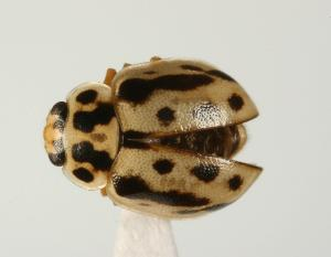 (Coccinellidae - CHU06-COL1-460)  @16 [ ] Unspecified (default): All Rights Reserved  Unspecified Unspecified