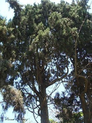 (Cupressus sempervirens - Hosam00020)  @11 [ ] Copyright (2010) Dr. Hosam Elansary Alexandria University