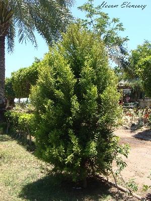 (Cupressus macrocarpa - Hosam00007)  @11 [ ] Copyright (2010) Dr. Hosam Elansary Alexandria University