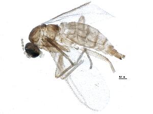 (Corynoptera minima - BIOUG07076-A08)  @14 [ ] CC-0 (2014) CBG Photography Group Centre for Biodiversity Genomics