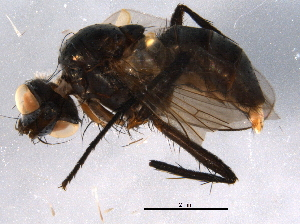 (Dolichotarsus - BIOUG07150-B11)  @14 [ ] CC-0 (2014) CBG Photography Group Centre for Biodiversity Genomics