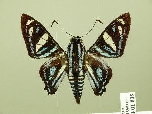 (Nosphistia - HESP-EB 01 025)  @15 [ ] Copyright (2010) Ernst Brockmann Research Collection of Ernst Brockmann