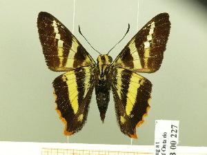 (Pseudocroniades - HESP-EB 00 227)  @14 [ ] Copyright (2010) Ernst Brockmann Research Collection of Ernst Brockmann