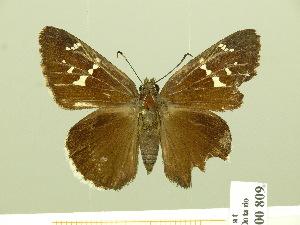 (Cogia hippalus hiska - HESP-EB 00 809)  @13 [ ] Copyright (2010) Ernst Brockmann Research Collection of Ernst Brockmann