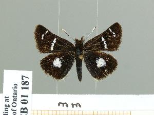 (Carterocephalus micio - HESP-EB 01 187)  @14 [ ] Copyright (2010) Ernst Brockmann Research Collection of Ernst Brockmann
