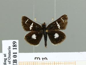 (Carterocephalus micio - HESP-EB 01 189)  @14 [ ] Copyright (2010) Ernst Brockmann Research Collection of Ernst Brockmann