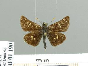 (Carterocephalus flavomaculatus - HESP-EB 01 190)  @14 [ ] Copyright (2010) Ernst Brockmann Research Collection of Ernst Brockmann