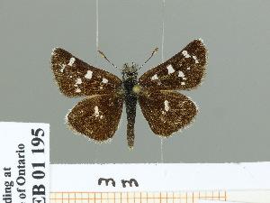 (Carterocephalus gemmatus - HESP-EB 01 195)  @14 [ ] Copyright (2010) Ernst Brockmann Research Collection of Ernst Brockmann