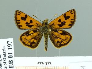 (Carterocephalus houangty - HESP-EB 01 197)  @14 [ ] Copyright (2010) Ernst Brockmann Research Collection of Ernst Brockmann