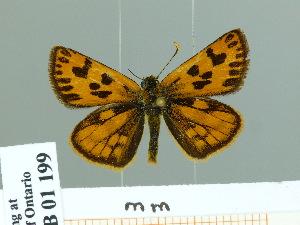 (Carterocephalus houangty - HESP-EB 01 199)  @14 [ ] Copyright (2010) Ernst Brockmann Research Collection of Ernst Brockmann