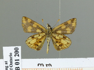 (Carterocephalus alcina - HESP-EB 01 200)  @13 [ ] Copyright (2010) Ernst Brockmann Research Collection of Ernst Brockmann