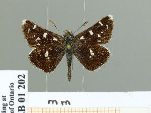 (Carterocephalus gemmatus - HESP-EB 01 202)  @14 [ ] Copyright (2010) Ernst Brockmann Research Collection of Ernst Brockmann