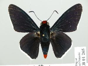 (Pyrrhopyge - HESP-EB 01 265)  @15 [ ] Copyright (2010) Ernst Brockmann Research Collection of Ernst Brockmann