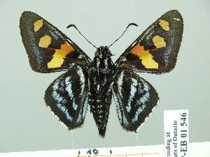 (Mimoniades - HESP-EB 01 546)  @15 [ ] Copyright (2010) Ernst Brockmann Research Collection of Ernst Brockmann