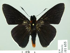 (Pyrrhopygopsis - HESP-EB 01655)  @14 [ ] Copyright (2010) Ernst Brockmann Research Collection of Ernst Brockmann