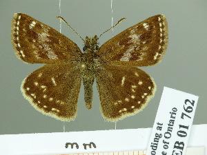 (Erynnis popoviana - HESP-EB 01762)  @13 [ ] Copyright (2010) Ernst Brockmann Research Collection of Ernst Brockmann