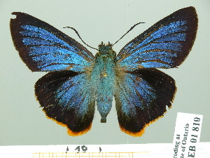 (Pyrrhiades - HESP-EB 01810)  @15 [ ] Copyright (2010) Ernst Brockmann Research Collection of Ernst Brockmann