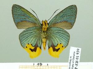 (Choaspes - HESP-EB 01939)  @14 [ ] Copyright (2010) Ernst Brockmann Research Collection of Ernst Brockmann
