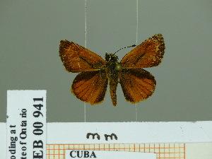 (Parachoranthus - HESP-EB 00 941)  @13 [ ] Copyright (2010) Ernst Brockmann Research Collection of Ernst Brockmann