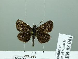 (Dardarina sp - HESP-EB 03 061)  @13 [ ] Copyright (2012) Ersnt Brockmann Research Collection of Ernst Brockmann
