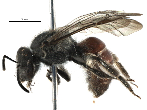 (Lasioglossum hiltacum - BIOUG22074-G10)  @15 [ ] CreativeCommons - Attribution Non-Commercial Share-Alike (2016) CBG Photography Group Centre for Biodiversity Genomics