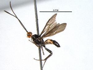 (Poecilobracon - BIOUG02952-E03)  @13 [ ] CreativeCommons - Attribution Non-Commercial Share-Alike (2013) CBG Photography Group Centre for Biodiversity Genomics