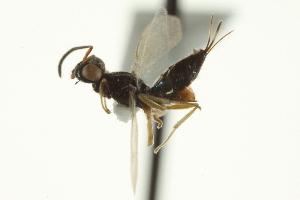 (Eupelmus fuscipectus - CNCHYM 012099)  @11 [ ] CreativeCommons - Attribution Non-Commercial Share-Alike (2012) CNC/BIO Photography Group Centre for Biodiversity Genomics